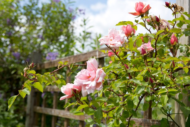 Coppery-pink blooms of Rosa 'Albertine'