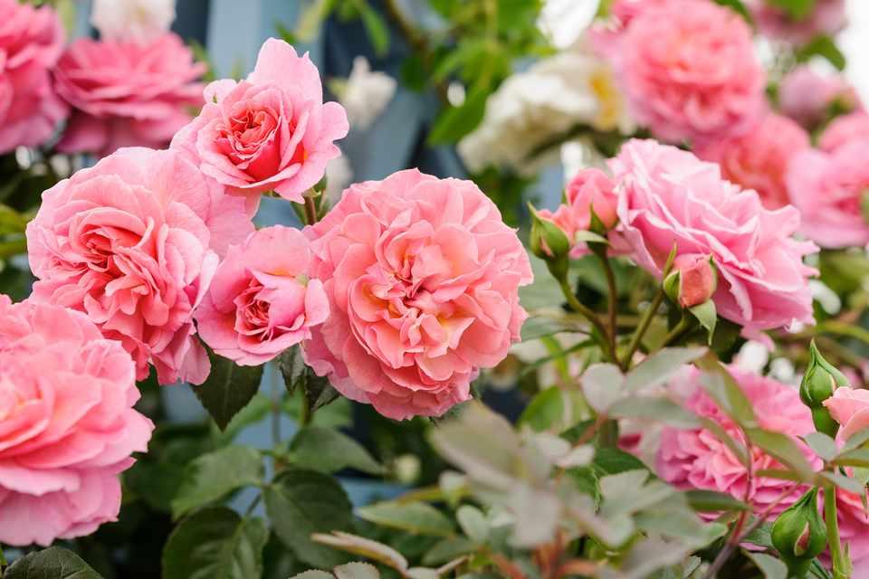 Peachy-pink rose blooms