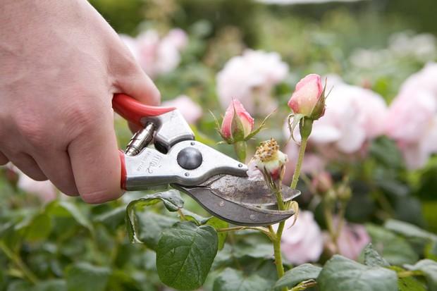 deadheading-a-rose-3
