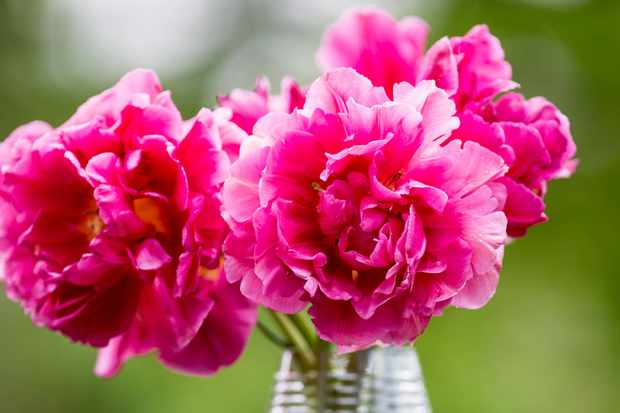 Bulbs for cut flowers - Tulip 'Chato'
