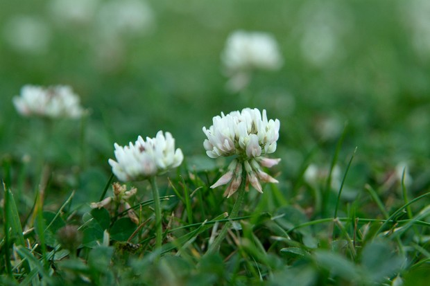 White clover flowering in a lawn