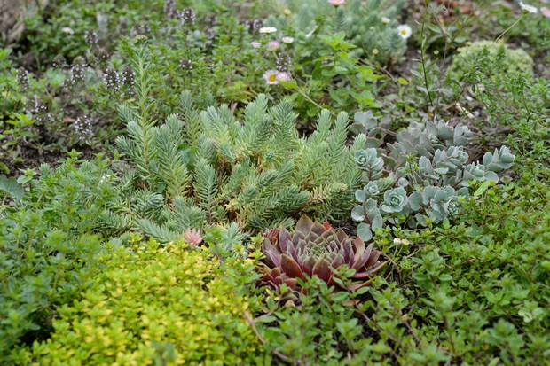 alternative-lawn-mix-for-dry-sunny-area-with-thyme-and-succulents