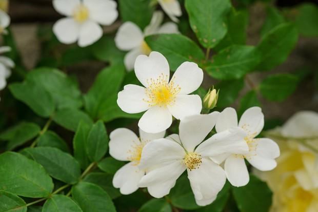 rambling-rose-kiftsgate-2