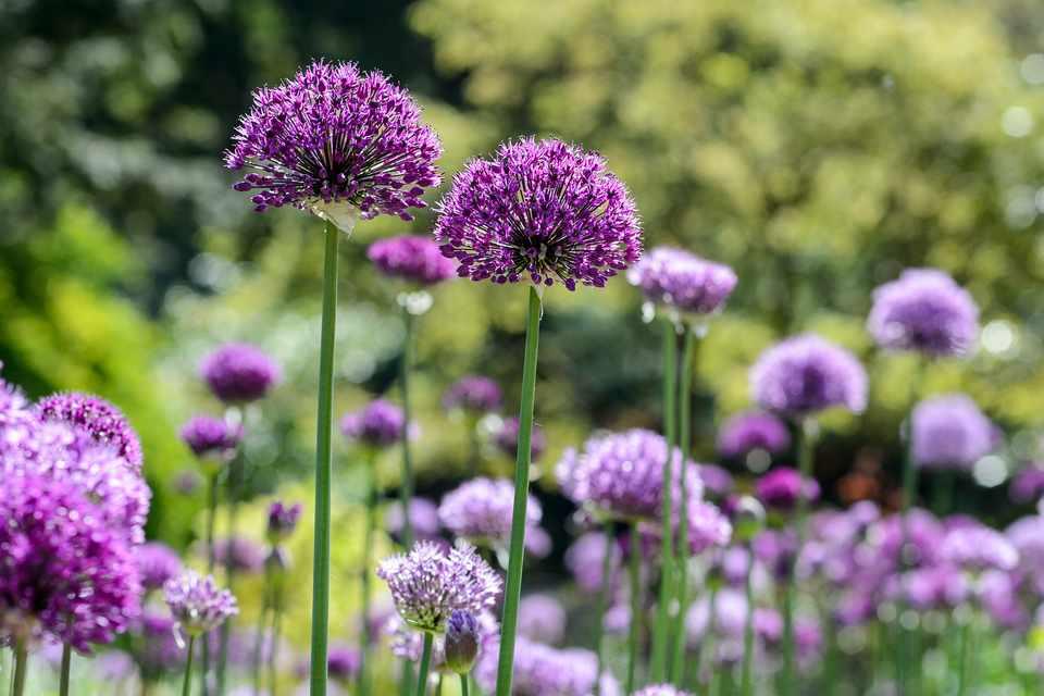 Tall purple allium blooms