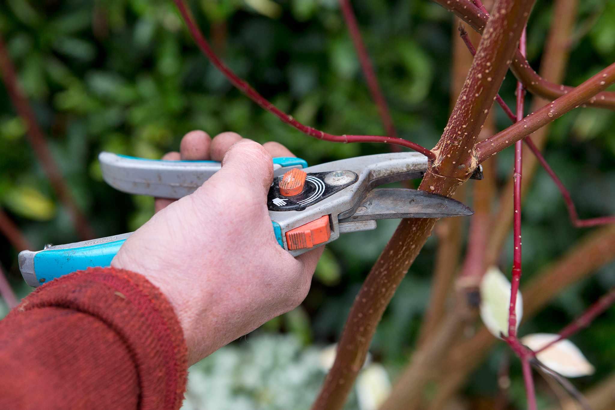 Taking hardwood cuttings