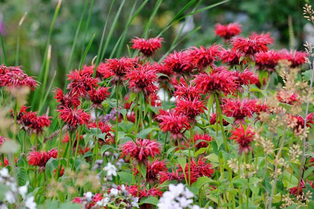 Brilliant red flowers of bergamot 'Cambridge Scarlet'