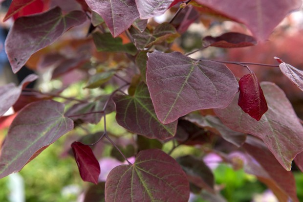 Cercis 'Forest Pansy' foliage