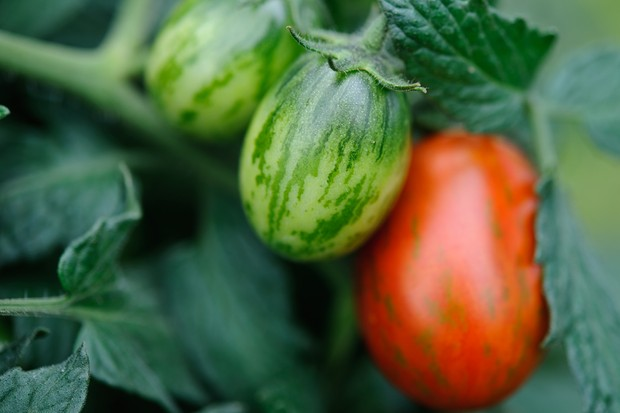 tomato-tumbling-tiger-3