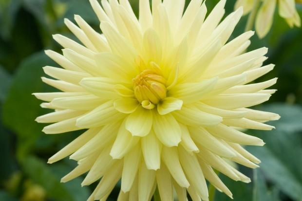 Pale-lemon semi-cactus dahlia 'Weston Miss'