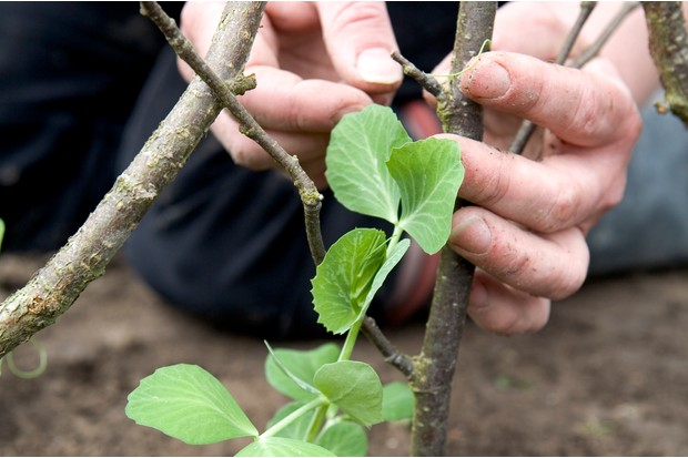 How to plant pea seeds - tying in the plants