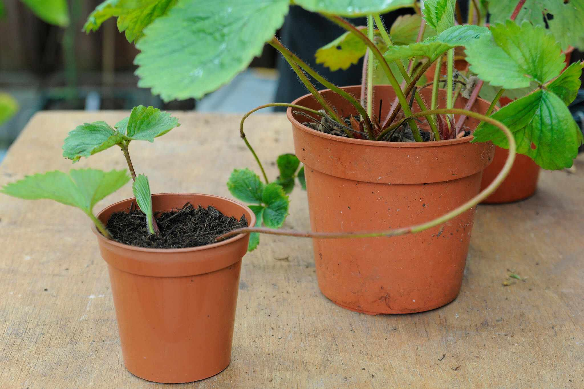 Propagating strawberries from runners