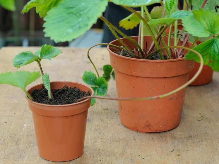 How to propagate strawberries from runners