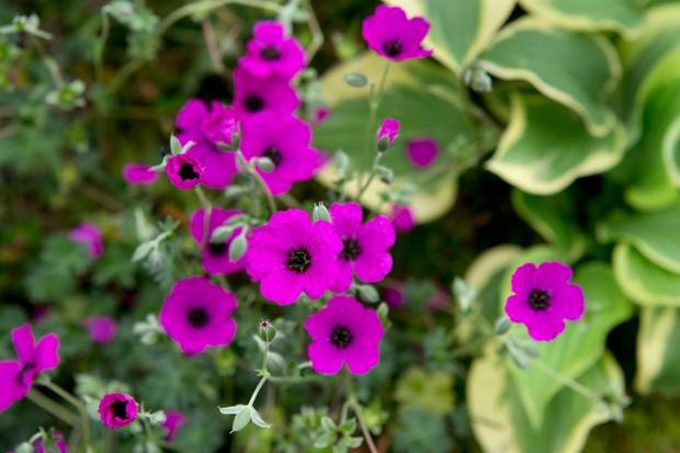 geranium-cinereum-giuseppe-2