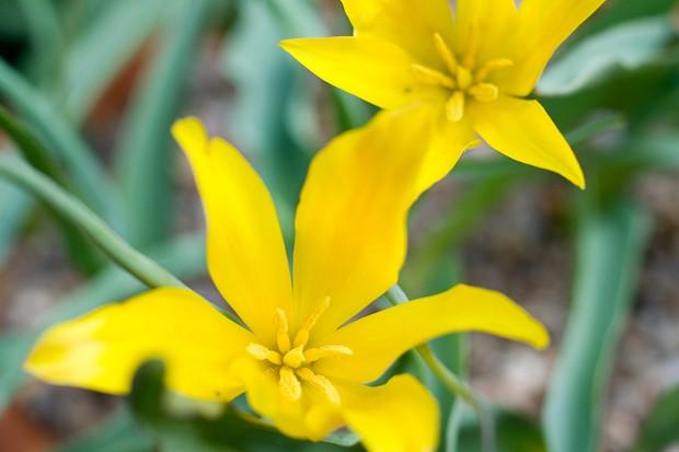 Tulipa altaica