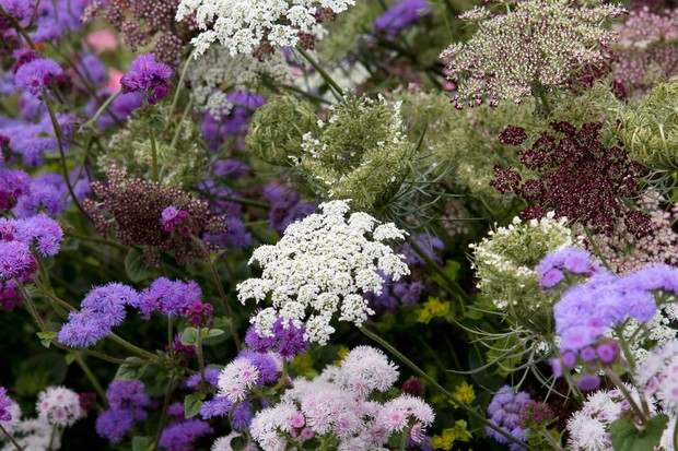 Flowers of wild carrot, deep maroon in bud and opening into white