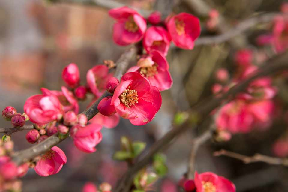 Deep-coral-pink Japanese quince flowers