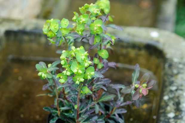 euphorbia-amygdaloides-purpurea-2