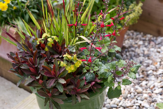 A red and bright-green planting combination of euphorbia, salvia and Japanese blood grass in a green pot