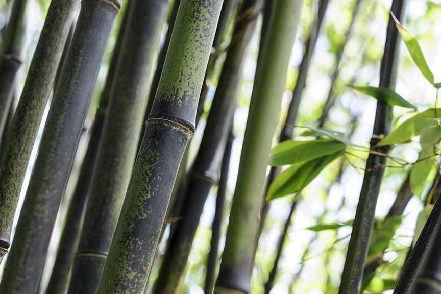 How To Stop Black Bamboo Spreading - BBC Gardeners' World
