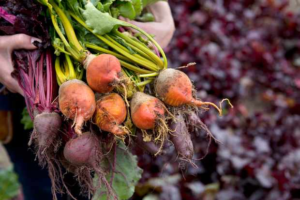 Freshly harvested beetroots