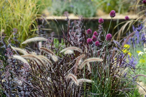 fountain-grass-and-round-headed-garlic