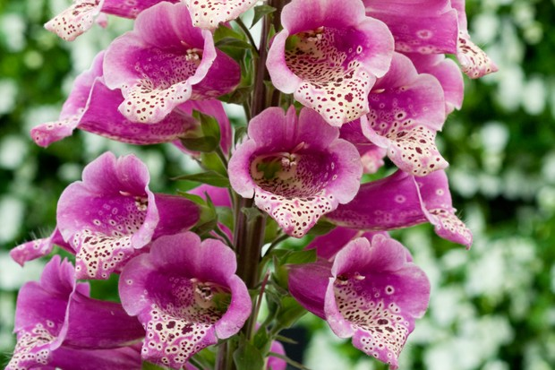 Pink speckled flowers of foxglove 'Candy Mountain'