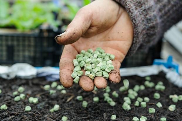 sowing-peas-5