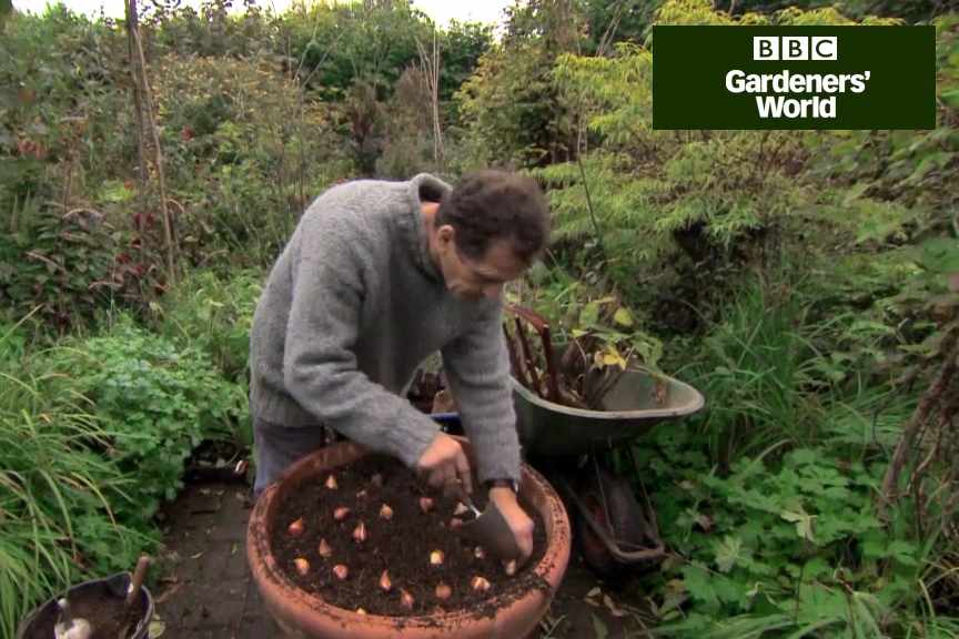 How to plant tulips and evergreens in a pot