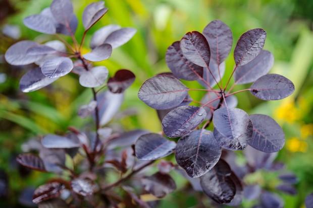 Round, purple leaves of cotinus