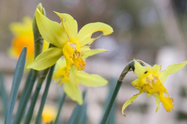 slug-eaten-daffodil-flowers-2