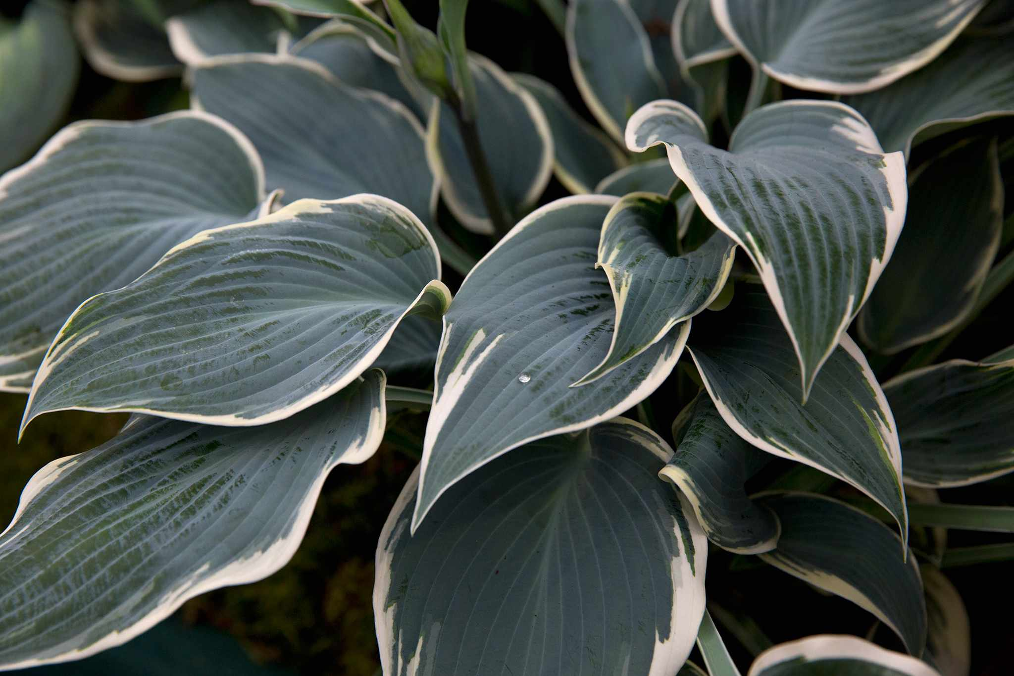 Dark green hosta foliage with pale yellow margins