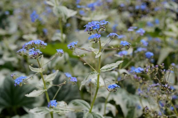 brunnera-macrophylla-variegata-2