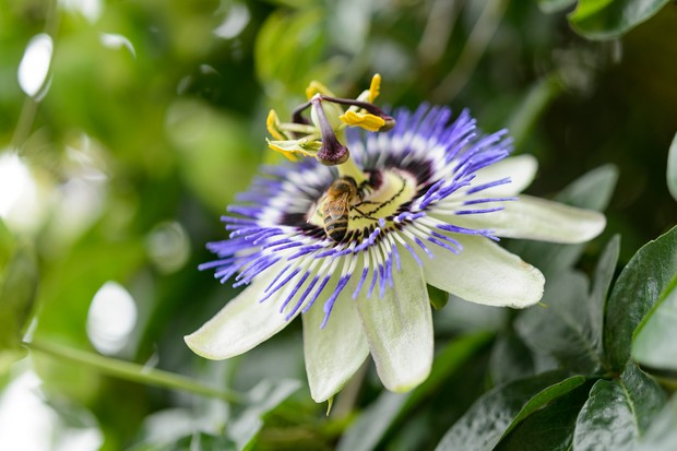 Climbers for wildlife - passion flower
