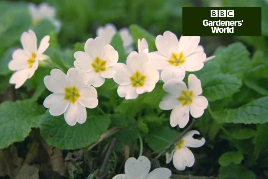 Planting spring-flowering perennials video