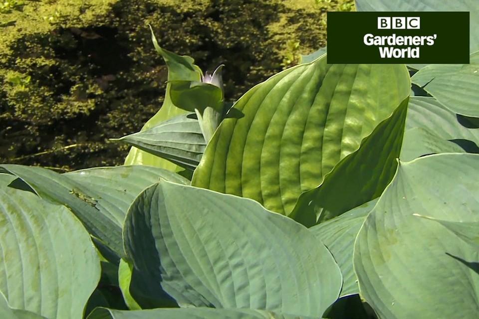 How To Divide Hostas Video Bbc Gardeners World Magazine