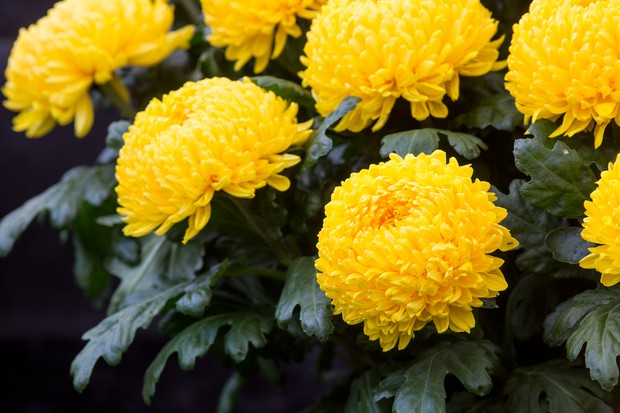 chrysanthemum-misty-golden-2