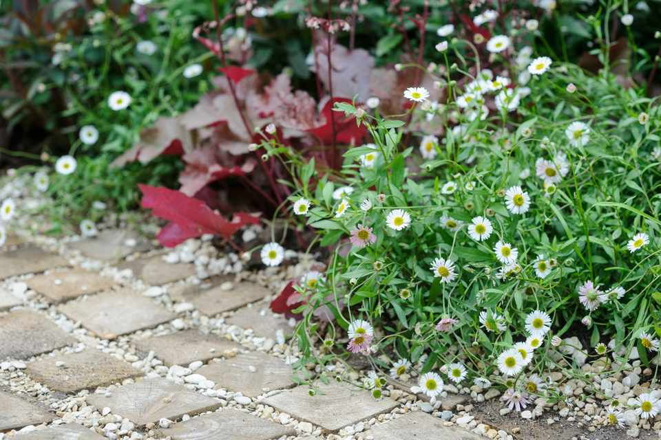 Daisy-like flowers of sprawling erigeron planted with purple heuchera