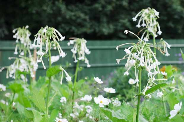 scented-nicotiana-sylvestris-in-bloom-2