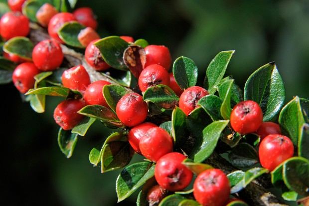 Round red berries of cotoneaster