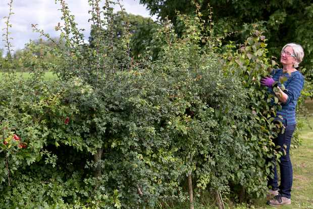How to Prune a Wildlife Hedge