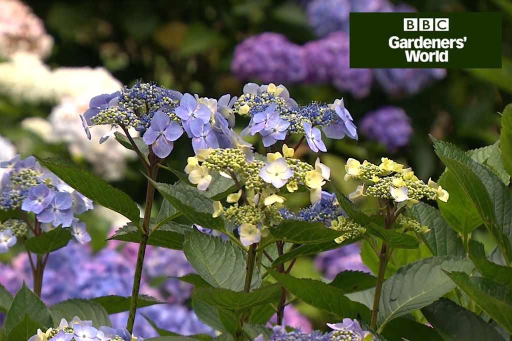 How to prune hydrangeas video