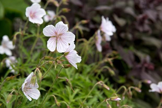 hardy-geranium-8