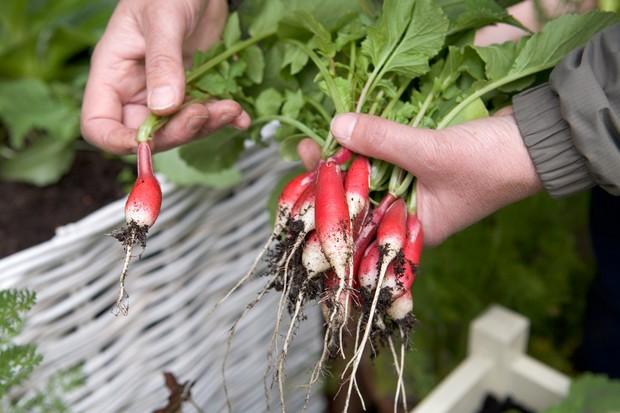 harvesting-radishes-4