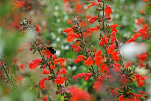 Salvia coccinea 'Hummingbird Mixed'