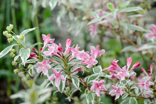 weigela-florida-variegata-2