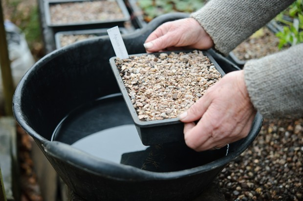 Placing a planted seed tray into a shallow trug of water