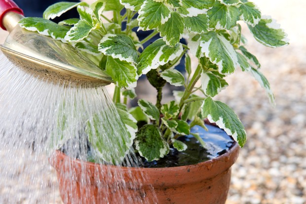 Showering the soil of a potted geranium with a rose-head watering can