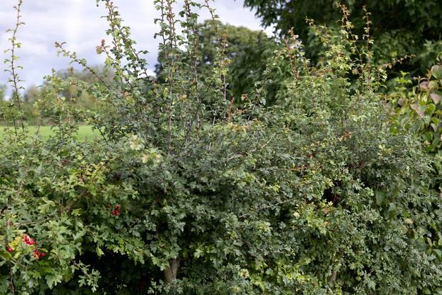 mature-hedge-2