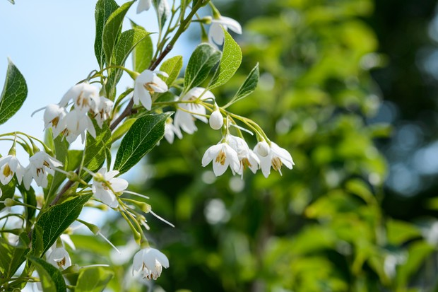 Japanese snowbell (Styrax japonicus)