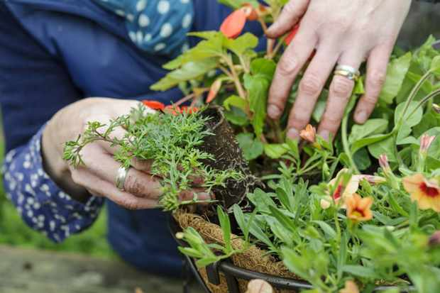 planting-up-the-basket